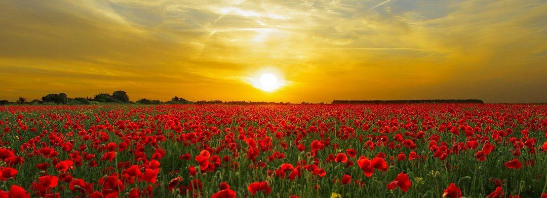 sunset poppy field