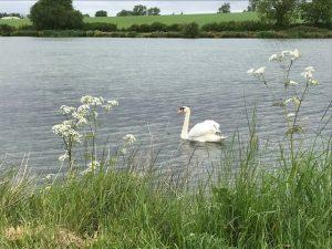 Swan of the Lake