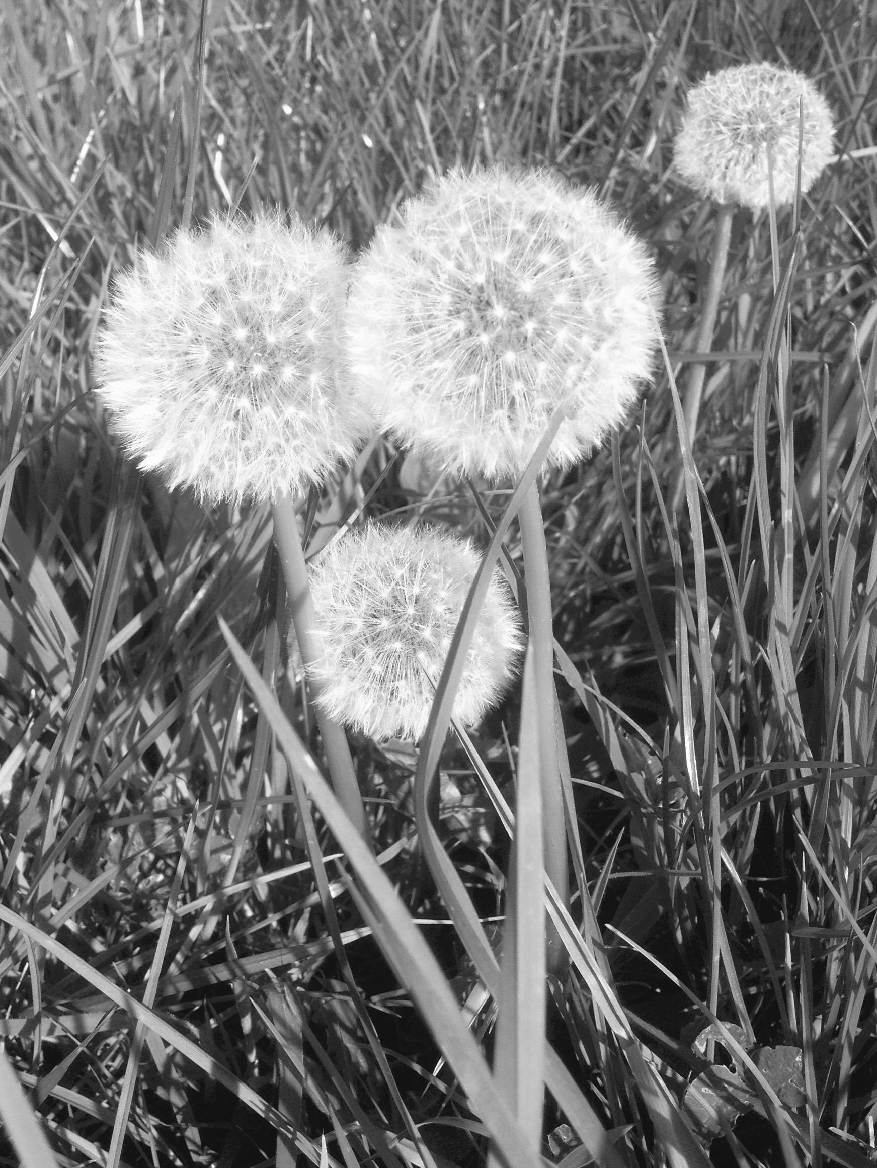 B&W Dandelions