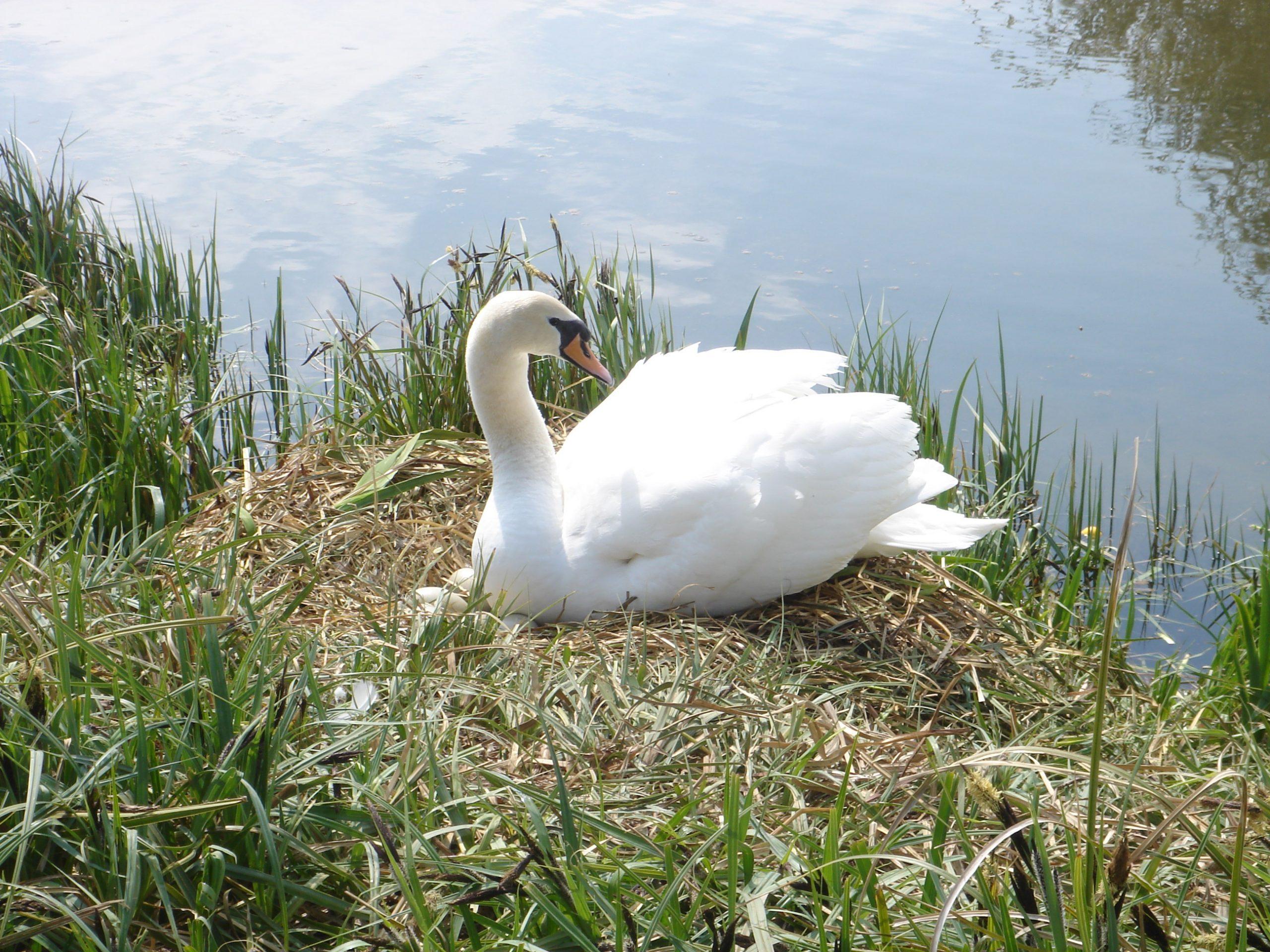 Swan Enjoying Sunshine