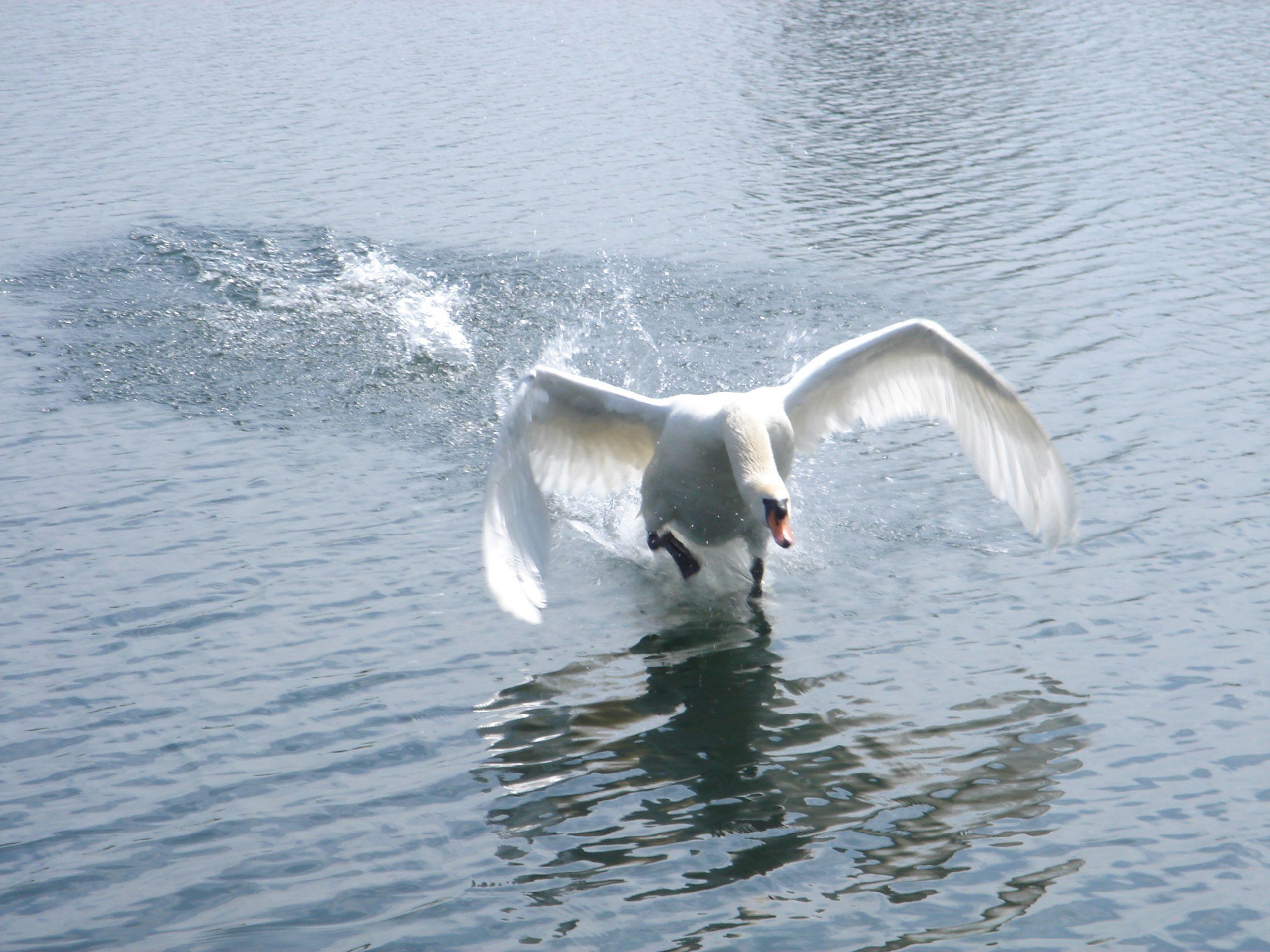 Swan Lift-off