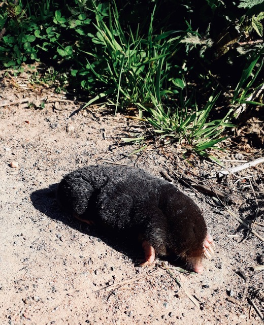 Frolesworth Mole