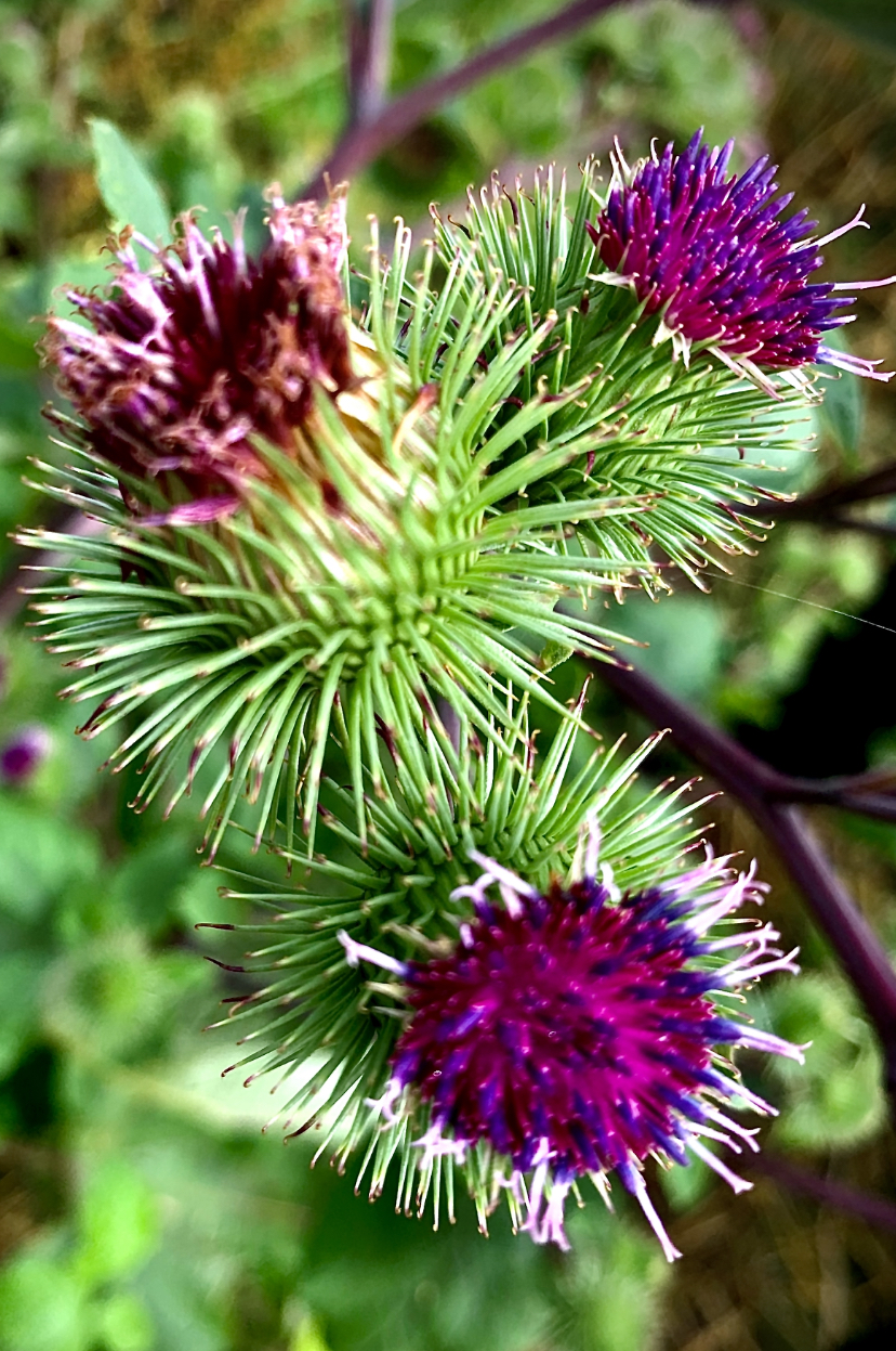 Thistle in the Round